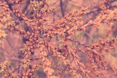 Las ramas con la primavera floreciente florecen el fondo teñido rosado Imagen de archivo libre de regalías