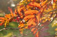 Las ramas de árbol anaranjadas de ceniza de montaña se encendieron por la luz del sol - fondo del otoño Imagenes de archivo