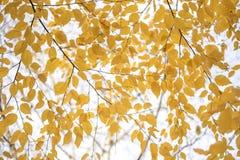 Las ramas de árbol de la caída del amarillo salen del fondo Imágenes de archivo libres de regalías