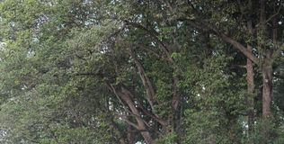 Las ramas de árbol se entrelazaron, formando un fondo vegetativo continuo imagen de archivo libre de regalías