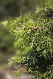 Ramas de árbol de abeto Imágenes de archivo libres de regalías