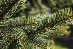 Ramas de árbol de abeto Foto de archivo