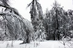 Las ramas de árboles doblaron bajo peso de nieve en bosque del invierno Imágenes de archivo libres de regalías