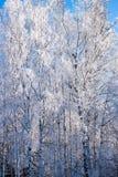 Las ramas de árboles de hojas caducas, abedul en la nieve y primer de la helada en el fondo del cielo azul brillante Foto de archivo libre de regalías