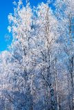Las ramas de árboles de hojas caducas, abedul en la nieve y primer de la helada en el fondo del cielo azul brillante Imagen de archivo libre de regalías