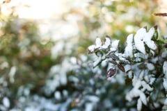 Las ramas de Bush cubierto con la nieve, fondo Imágenes de archivo libres de regalías