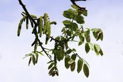 Las ramas de florecimiento de una nuez en el jard?n en primavera, pendientes de la nuez cuelgan de las ramas contra el cielo foto de archivo libre de regalías