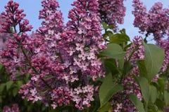 Ramas de Florescence de lilas imagenes de archivo
