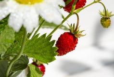 Las ramas de fresas maduras rojas, de margaritas blancas y de hojas de menta se colocan en un vaso de agua en un toc?n de madera foto de archivo libre de regalías