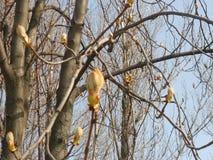 Las ramas de la castaña con la floración florecen en fondo del cielo Foto de archivo