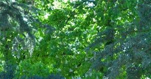 Las ramas de la castaña y los árboles se están sacudiendo en el viento almacen de video