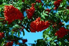 Las ramas de la ceniza salvaje son adornadas abundante por los racimos rojos de bayas imagenes de archivo