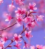 Las ramas de la cereza Himalayan salvaje rosada florecen, Tailandia Foto de archivo libre de regalías