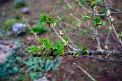 Las ramas de la grosella negra con los brotes y primero se van listo para abrirse foto de archivo libre de regalías