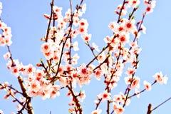 Las ramas de los árboles florecientes en primavera, con todos los colores de la estación imágenes de archivo libres de regalías