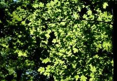 Las ramas de los árboles forestales se cubren con las hojas verdes Foto de archivo