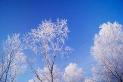 Las ramas de los abedules en nieve Foto de archivo libre de regalías