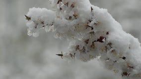 Las ramas de los albaricoques florecientes se cubren con nieve Primer almacen de metraje de vídeo
