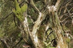 Las ramas de un árbol caido cubierto de musgo viejo en el bosque imagen de archivo