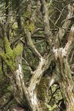 Las ramas de un árbol caido cubierto de musgo viejo en el bosque foto de archivo