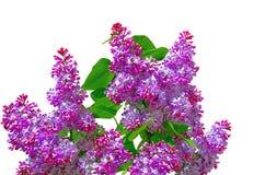 Las ramas de una lila floreciente en el fondo blanco Foto de archivo libre de regalías