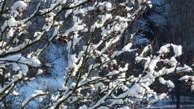 Las ramas del árbol cubierto con nieve crujen levemente el viento metrajes