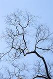 Las ramas del árbol deshojado renacidas con la primavera Imagen de archivo