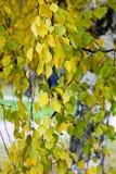 Las ramas del abedul en otoño Fotografía de archivo libre de regalías