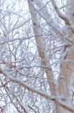 Las ramas del abedul se cubren con nieve después de una tormenta de la nieve Fotos de archivo libres de regalías