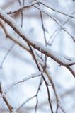 Las ramas del abedul se cubren con nieve después de una tormenta de la nieve Foto de archivo libre de regalías