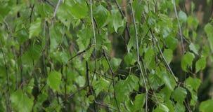 Las ramas del abedul se mueven en el viento almacen de metraje de vídeo