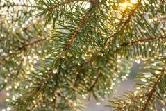Las ramas del abeto cubiertas con agua caen bajo haces del sol de la mañana Imagenes de archivo