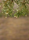 Las ramas del abeto cubiertas con agua caen bajo haces del sol de la mañana Imagen de archivo libre de regalías