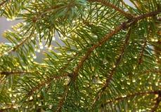 Las ramas del abeto cubiertas con agua caen bajo haces del sol de la mañana Fotografía de archivo