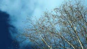 Las ramas del alto abedul con un amento floreciente y hojas verdes jovenes almacen de video