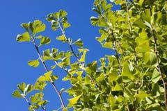 Las ramas del biloba del ginkgo fotografía de archivo libre de regalías