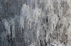 Las ramas del los abedules congelados cubiertos por una escarcha cuelgan abajo Imagen de archivo libre de regalías