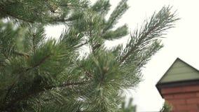 Las ramas del piel-árbol Rama de árbol imperecedera de pino del abeto Agujas spruce azules y verdes en ramas Espinoso verde metrajes