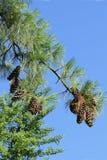 Las ramas del pino con los conos en un fondo brillante del cielo azul foto de archivo