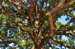 Las ramas del pino hacia arriba Fotografía de archivo libre de regalías
