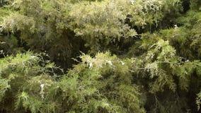 Las ramas del thuja se oyen en el viento La pelusa del álamo vuela almacen de video