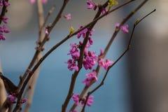 Las ramas elegante formadas con algunas pequeñas flores rosadas en un azul empañaron el fondo Imagen de archivo
