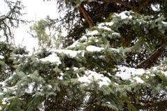 Las ramas eran picea, cubierta con nieve Invierno en el taiga Imagen de archivo