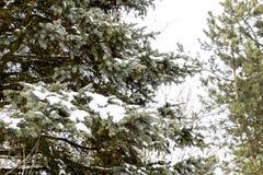 Las ramas eran picea, cubierta con nieve Invierno en el taiga Fotografía de archivo libre de regalías