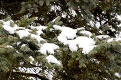 Las ramas eran picea, cubierta con nieve Invierno en el taiga Fotografía de archivo