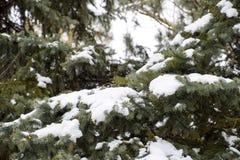 Las ramas eran picea, cubierta con nieve Invierno en el taiga Imágenes de archivo libres de regalías