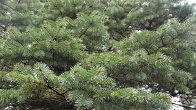 Las ramas espinosas de la oscilación del abeto en el viento almacen de video