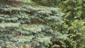 Las ramas espinosas de la oscilación del abeto en el viento metrajes