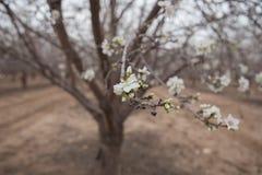 Las ramas hermosas de la almendra del árbol de almendra se cierran encima de la floración de la primavera Fotos de archivo