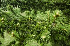 Las ramas jovenes comieron los brotes de la picea y las agujas jovenes de la picea contra fotos de archivo libres de regalías